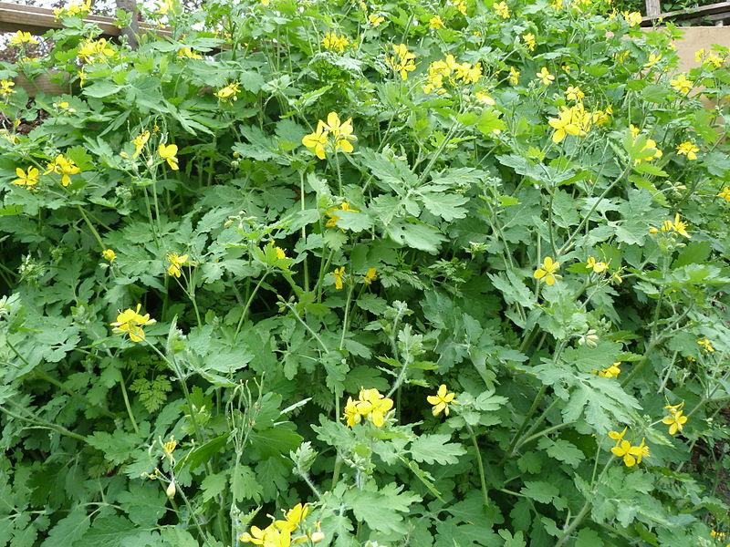A tavaszi időszakban Csömörön nyíló vadvirágok, gyógynövények