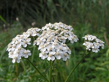 Júniusban nyíló vadvirágok
